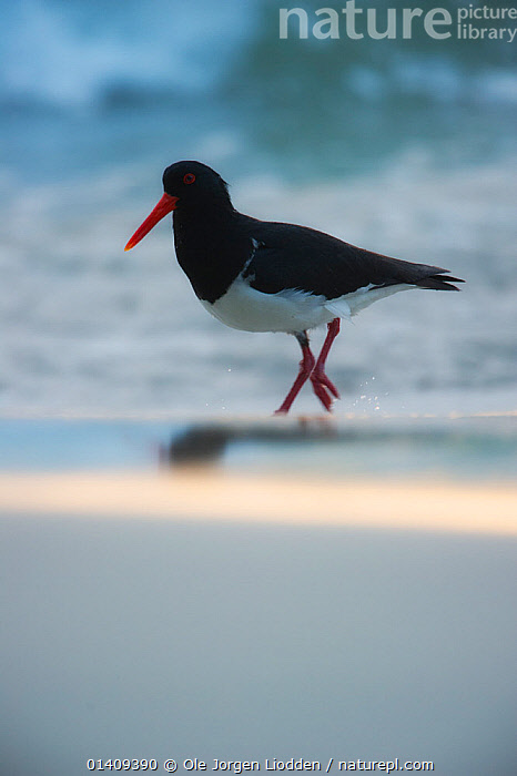 Pied Oystercatcher (Haematopus longirostris) at sunrise, Tasmania. December., AUSTRALASIA,BIRDS,OYSTERCATCHERS,PORTRAITS,SPLIT LEVEL,SUNRISE,VERTEBRATES,VERTICAL,WADERS, Ole Jorgen Liodden
