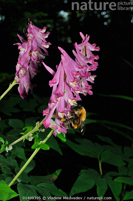 Corydalis gigantea (Corydalis gigantea), food plant of the larvae of the Eversmann's parnassian (Parnassius eversmanni) butterfly, with a Bumblebee (Bombus ussurensis) feeding on flowers, Primorsky krai, Russian Far East, July., ARTHROPODS,ASIA,BEES,BUMBLEBEES,DICOTYLEDONS,FLOWERS,FUMARIACEAE,HYMENOPTERA,INSECTS,INVERTEBRATES,NECTARING,PINK,PLANTS,RUSSIA,UPLANDS,VERTICAL, Vladimir Medvedev