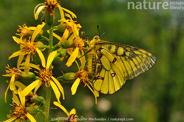 Male Eversmann's parnassian (Parnassius eversmanni) nectaring on flowers, Primorsky krai, Russian Far East, July., ARTHROPODS,ASIA,BUTTERFLIES,FEEDING,FLOWERS,INSECTS,INVERTEBRATES,LEPIDOPTERA,MALES,NECTARING,PROFILE,RUSSIA,UPLANDS,YELLOW, Vladimir Medvedev
