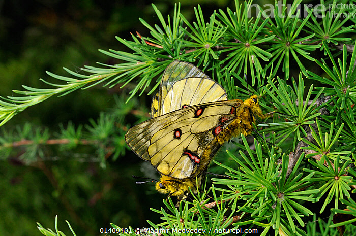 Mating pair of Eversmann's parnassian (Parnassius eversmanni) butterflies, Primorsky krai, Russian Far East, July., ARTHROPODS,ASIA,BUTTERFLIES,INSECTS,INVERTEBRATES,LEPIDOPTERA,MALE FEMALE PAIR,MATING BEHAVIOUR,RUSSIA,UPLANDS, Vladimir Medvedev