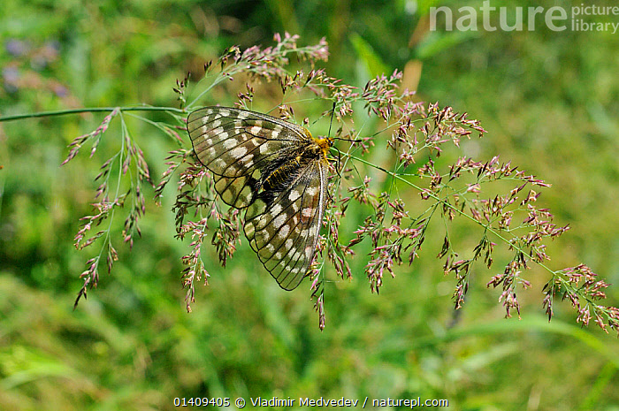 Female Eversmann's parnassian (Parnassius eversmanni) sun basking, Primorsky krai, Russian Far East, July., ARTHROPODS,ASIA,BASKING,BUTTERFLIES,FEMALES,INSECTS,INVERTEBRATES,LEPIDOPTERA,RUSSIA,UPLANDS, Vladimir Medvedev