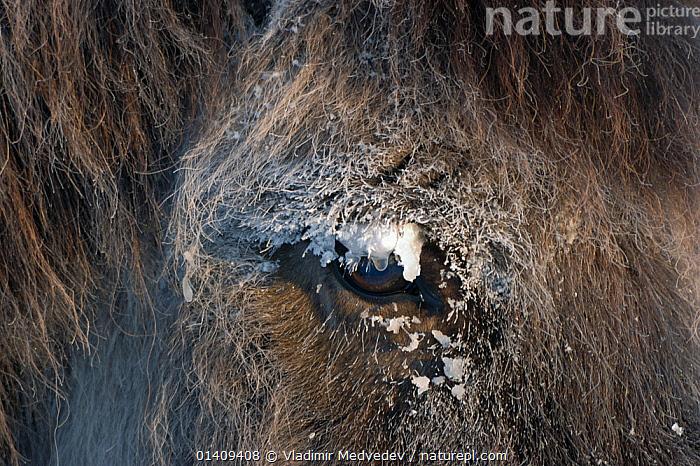 Close-up of the eye of a Yakut horse (Equus caballus) during a hard frost, Berdigestyakh, Yakutia, East Siberia, Russia, March., ASIA,CLOSE UPS,COLD,EQUIDAE,EYES,FROZEN,FULL FRAME,HARDY,HORSES,MAMMALS,PERISSODACTYLA,PONY,RUSSIA,SIBERIA,SNOW,VERTEBRATES,WINTER,YAKUTIAN HORSE,Equines, Vladimir Medvedev