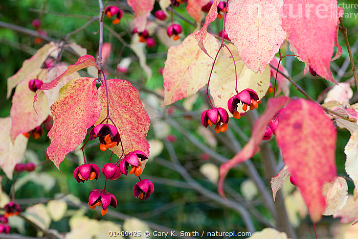 Spindle (Euonymus oxyphyllus) showing the seed cases ejecting seeds, UK October, AUTUMN,BERRIES,CELASTRACEAE,DICOTYLEDONS,ENGLAND,EUROPE,PLANTS,SEEDS,UK,United Kingdom, Gary K. Smith