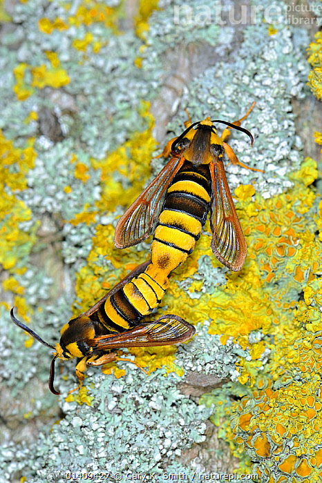 Hornet moths (Sesia apiformis) freshly emerged male and female mating at base of Poplar tree trunk, UK, June, ARTHROPODS,COPULATION,INSECTS,INVERTEBRATES,LEPIDOPTERA,MALE FEMALE PAIR,MATING,MATING BEHAVIOUR,MIMICRY,MOTHS,REPRODUCTION,TWO,VERTICAL,Europe,United Kingdom, Gary K. Smith