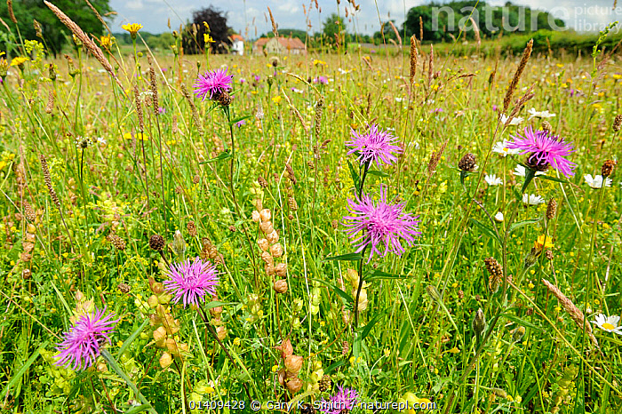 Mixed wildflower meadow, with Yellow rattle (Rhianthus minor), Common knapweed (Centaurea sp), Oxeye daisies (Leucanthemum vulgare) and Lady's bedstraw (Galium verum), Norfolk, UK, July, COUNTRYSIDE,ENGLAND,EUROPE,FARMLAND,FERTILITY,FLOWERS,GRASSES,GRASSLANDS,HABITAT,MEADOWLAND,MIXED SPECIES,SUMMER,UK,WILD FLOWERS,Grassland,United Kingdom, Gary K. Smith
