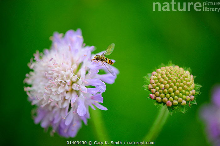 Field Scaboius (Knautia arvensis) with Hoverfly, UK, July, DICOTYLEDONS,DIPSACACEAE,ENGLAND,FLOWERS,HOVERFLIES,INSECTS,PERENNIAL,PLANTS,Europe,Invertebrates,United Kingdom, Gary K. Smith