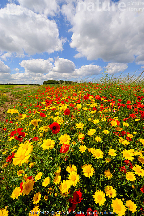 Common poppies (Papaver rhoeas) and Corn marigold (Chrysanthemum segetum) flowering on an arable headland, UK, July, COUNTRYSIDE,DICOTYLEDONS,ENGLAND,EUROPE,FARMLAND,FLOWERING,FLOWERS,HABITAT,LANDSCAPES,MIXED SPECIES,PAPAVERACEAE,PLANTS,RED,SUMMER,UK,VERTICAL,YELLOW,United Kingdom, Gary K. Smith