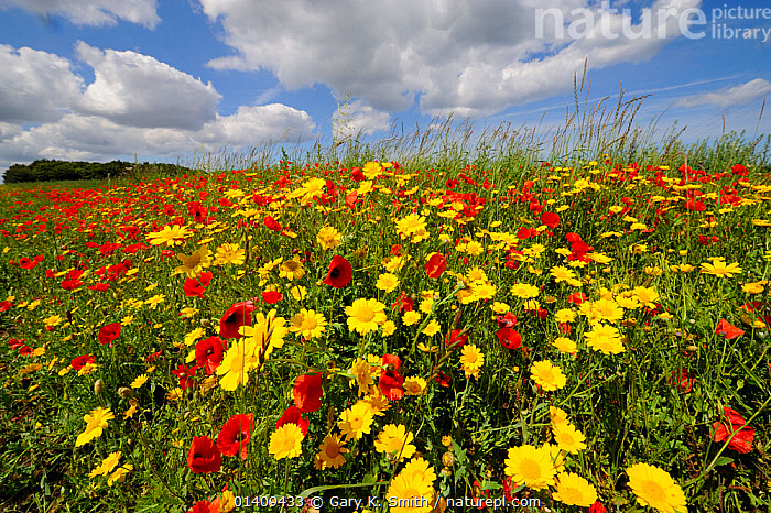 Common poppies (Papaver rhoeas) and Corn marigold (Chrysanthemum segetum) flowering on an arable headland, UK, July, COUNTRYSIDE,DICOTYLEDONS,ENGLAND,EUROPE,FARMLAND,FLOWERING,FLOWERS,LANDSCAPES,MIXED SPECIES,PAPAVERACEAE,PLANTS,SUMMER,UK,United Kingdom, Gary K. Smith