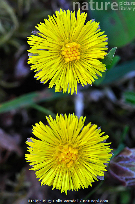Coltsfoot (Tussilago farfara) flowers in bloom. Dorset, UK, April, ASTERACEAE,COMPOSITAE,DICOTYLEDONS,ENGLAND,FLOWERS,PLANTS,UK,VERTICAL,YELLOW,Europe,United Kingdom, Colin Varndell