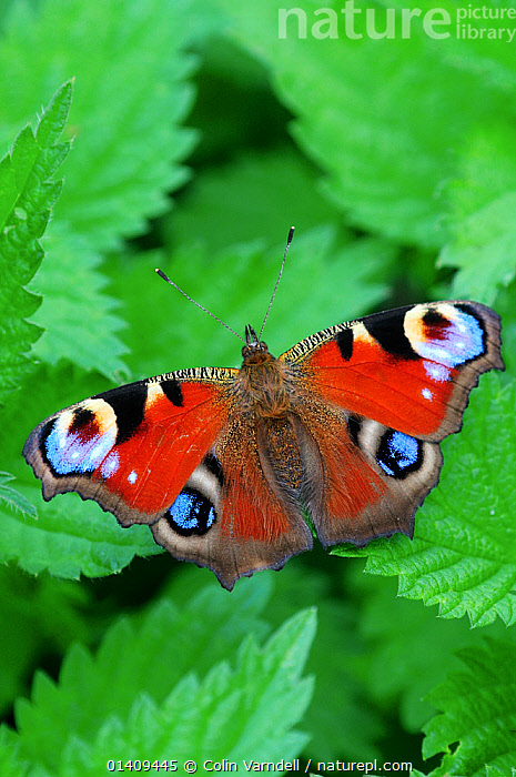 Peacock butterfly (Inachis io) on nettle leaves, ARTHROPODS,BUTTERFLIES,ENGLAND,INSECTS,INVERTEBRATES,LEPIDOPTERA,PORTRAITS,UK,Europe,United Kingdom, Colin Varndell