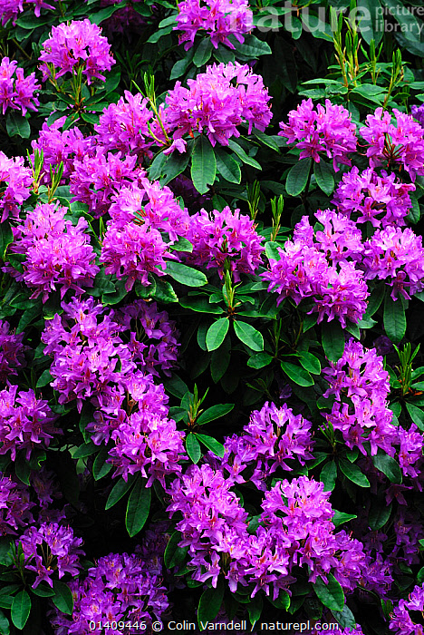 Wild rhododendron shrub in flower. Studland, Dorset, UK, May, DICOTYLEDONS, ENGLAND, ERICACEAE, FLOWERS, introduced, invasive, PINK, PLANTS, SPRING, UK, VERTICAL,Europe,United Kingdom, Colin Varndell