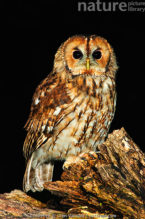 Adult tawny owl perching on dead tree. Dorset, UK August 2012, BIRDS,BIRDS OF PREY,BLACK BACKGROUND,CUTOUT,ENGLAND,NIGHT,OWLS,PORTRAITS,STRIGIDAE,UK,VERTEBRATES,VERTICAL,Europe,United Kingdom,Raptor, Colin Varndell