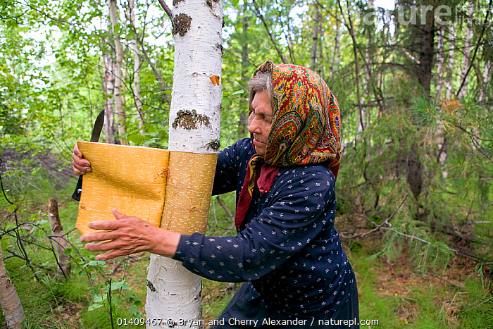 Nina Kunina, a Selkup woman, cuts bark from a birch tree to make a traditional basket near Bistrinka. Purovskiy Region, Yamal, Western Siberia, Russia, ARCTIC,ASIA,BARK,BIRCH,BUSHCRAFT,CIS,CRAFTS,CULTURES,ELDERLY,FEMALES,HANDICRAFTS,INDIGENOUS,NATIVE,OLD,PEOPLE,RUSSIA,SELKUP,SIBERIA,STRIPPING,TRADITIONAL,TREES,TRIBES,WESTERN,WESTERN SIBERIA,WOMAN,WORKING,YAMAL,Plants, Bryan and Cherry Alexander