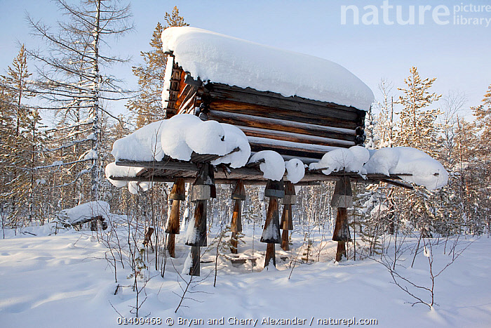 A traditional Selkup storage hut built on stilts to deter rodents in the forest near Tolka, Krasnoselkup, Yamal, Western Siberia, Russia 2012, ARCTIC,ASIA,BUILDINGS,CIS,CULTURES,FORESTS,HOMES,HUTS,INDIGENOUS,LANDSCAPES,NATIVE,PESTS,RODENTS,RUSSIA,SELKUP,SIBERIA,SNOW,STILTS,TRADITIONAL,TRIBAL,TRIBES,WESTERN SIBERIA,WINTER,Mammals, Bryan and Cherry Alexander
