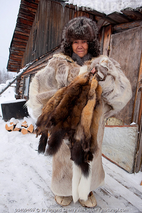 Yalena, an elderly Selkup woman holds sable skins caught by her husband at their winter camp in the forest. Krasnoselkup, Yamal, Western Siberia, Russia 2012, ARCTIC,ASIA,CIS,CLOTHING,CULTURES,ELDERLY,FEMALES,FUR,HUNTING,INDIGENOUS,MAMMALS,NATIVE,PELT,PEOPLE,PORTRAITS,RUSSIA,SELKUP,SIBERIA,SKIN,TRADE,TRADITIONAL,TRAPPING,TRIBAL,TRIBES,VERTICAL,WESTERN SIBERIA,WINTER,WOMAN, Bryan and Cherry Alexander