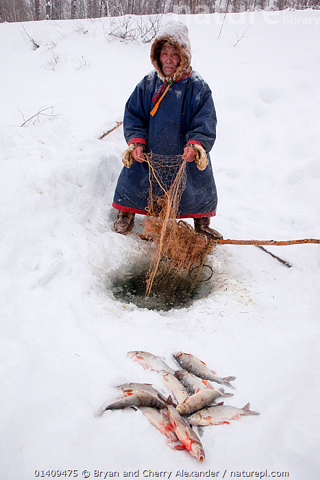Ivan, a Selkup elder, checking his fishing net set under the ice of the Pechalka River in Krasnoselkup, Yamal, Western Siberia, Russia 2012, ARCTIC,ASIA,CIS,CULTURES,ELDERLY,FISH,FISHING,FOOD,ICE,INDIGENOUS,MALES,MAN,NATIVE,OLD,PEOPLE,RUSSIA,SELKUP,SIBERIA,TRADITIONAL,TRIBAL,TRIBES,VERTICAL,WESTERN SIBERIA,WINTER ,Tribes,, Bryan and Cherry Alexander
