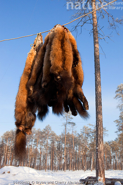 Sable skins hanging up outside at a Selkup hunter's winter camp near Ratta, Krasnoselkup, Yamal, Western Siberia, Russia 2012, ARCTIC,ASIA,CARCASSES,CIS,CULTURES,DEAD,FUR,GROUPS,HUNTING,INDIGENOUS,MAMMALS,NATIVE,PELT,PELTS,PEOPLE,RUSSIA,SABLE,SELKUP,SIBERIA,SKIN,TRADE,TRADITIONAL,TRAPPING,TRIBAL,TRIBES,VERTICAL,WESTERN SIBERIA, Bryan and Cherry Alexander