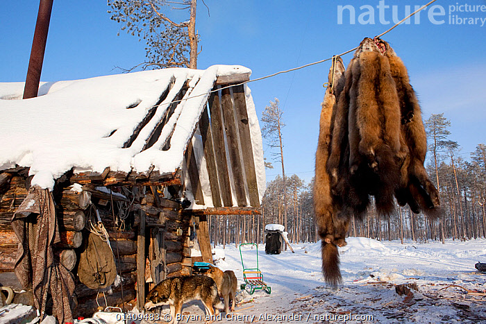 Sable skins hanging up outside at a Selkup hunter's winter camp near Ratta, Krasnoselkup, Yamal, Western Siberia, Russia 2012, ARCTIC,ASIA,BUILDINGS,CAMPS,CARCASSES,CIS,CULTURES,DEAD,FORESTS,FUR,GROUPS,HOMES,HUNTING,HUNTS,INDIGENOUS,MAMMALS,NATIVE,PELT,PELTS,PEOPLE,RUSSIA,SABLE,SELKUP,SIBERIA,SKIN,TRADE,TRADITIONAL,TRAPPING,TRIBAL,TRIBES,WESTERN SIBERIA, Bryan and Cherry Alexander