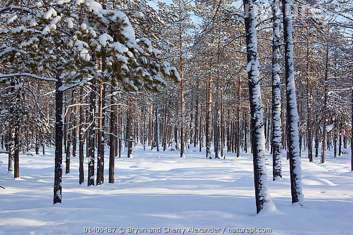 Boreal forest (taiga) in winter with snow covered trees near Ratta, Krasnoselkup, Yamal, Western Siberia, Russia 2012, ARCTIC,ASIA,BOREAL,CIS,FORESTS,HABITAT,LANDSCAPES,PEACEFUL,RUSSIA,SELKUP,SIBERIA,SNOW,TAIGA,TREES,WESTERN SIBERIA,WINTER,WOODLANDS,PLANTS, Bryan and Cherry Alexander