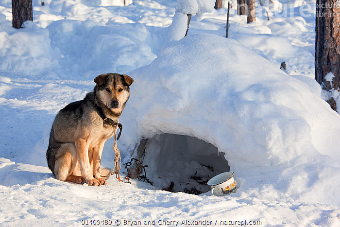 At a Selkup hunter's winter camp in the forest, a Laika dog has an 'igloo' for shelter, Ratta, Krasnoselkup, Yamal, Western Siberia, Russia 2012, ARCTIC,ASIA,CAMPS,CIS,CULTURES,DOGS,DOMESTIC,ICE,IGLOO,INDIGENOUS,KENNELS,MAMMALS,NATIVE,PETS,RESTING,RUSSIA,SELKUP,SHELTER,SIBERIA,TRADITIONAL,TRIBAL,TRIBES,WESTERN SIBERIA,WINTER,WORKING ANIMALS, Bryan and Cherry Alexander