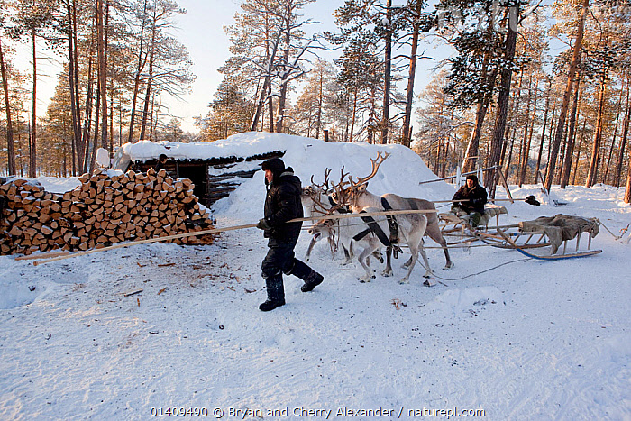Selkup hunters returning by reindeer sled to their 'Poymot' (traditional Selkup turf hut) at a winter hunting camp in the forest near Ratta,  Krasnoselkup, Yamal, Western Siberia, Russia 2012, ANIMALS,ARCTIC,ARTIODACTYLA,ASIA,BOREAL,CAMPING,CAMPS,CIS,CULTURES,DOMESTIC,FORESTS,HUNTING,INDIGENOUS,LIVESTOCK,MALES,MAMMALS,MAN,NATIVE,PEOPLE,REINDEER,RUSSIA,SEASONAL,SELKUP,SIBERIA,TRADITIONAL,TRANSPORT,TRIBAL,TRIBES,WESTERN SIBERIA,WINTER,WORKING ANIMALS, Bryan and Cherry Alexander