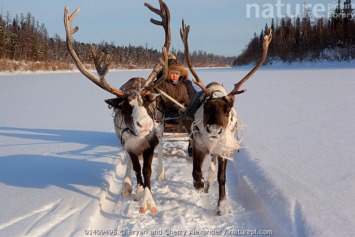Rita Markova, a young Selkup woman, driving a reindeer sled on the frozen Shirta River, Ratta, Krasnoselkup, Yamal, Western Siberia, Russia 2012, ANTLERS,ARCTIC,ARTIODACTYLA,ASIA,CIS,CULTURES,DOMESTIC,FEMALES,ICE,INDIGENOUS,LIVESTOCK,MAMMALS,NATIVE,PEOPLE,REINDEER,RUSSIA,SELKUP,SIBERIA,SLED,SLEDGING,SNOW,TRADITIONAL,TRANSPORT,TRAVELLING,TRIBAL,TRIBES,WESTERN SIBERIA,WOMAN,WORKING ANIMALS, Bryan and Cherry Alexander