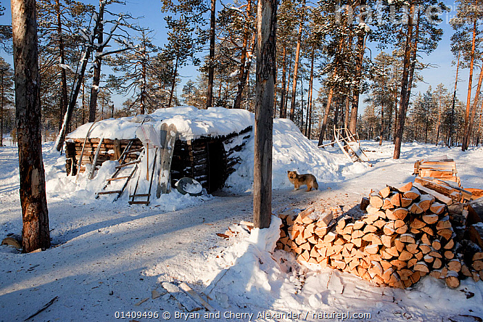Firewood stacked outside a 'Poymot' (traditional Selkup turf hut) at a winter hunting camp in the forest near Ratta, Krasnoselkup, Yamal, Western Siberia, Russia 2012, ARCTIC,ASIA,BOREAL,CAMPING,CAMPS,CIS,CULTURES,DOGS,FIREWOOD,FORESTS,FUEL,HABITAT,HOMES,HUTS,INDIGENOUS,LANDSCAPES,LIFESTYLE,NATIVE,PEOPLE,RUSSIA,SEASONAL,SELKUP,SIBERIA,TAIGA,TIMBER,TRADITIONAL,TRIBAL,TRIBES,WESTERN SIBERIA,WINTER,WOOD, Bryan and Cherry Alexander