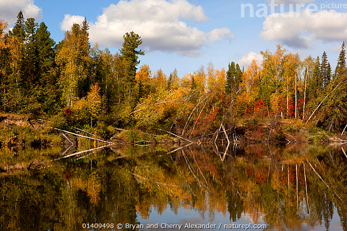 Boreal Forest trees in autumn colour, aspen, birch and willow, reflected in the River Taz, Krasnoselkup, Yamal, Western Siberia, Russia, ARCTIC,ASIA,ASPEN,AUTUMN,BIRCH,BOREAL,CIS,FORESTS,FRESHWATER,HABITAT,LANDSCAPES,MIXED SPECIES,REFLECTIONS,RIVERS,RUSSIA,SHORELINE,SIBERIA,TREES,WATER,WESTERN SIBERIA,WILLOW,WOODLANDS,PLANTS, Bryan and Cherry Alexander