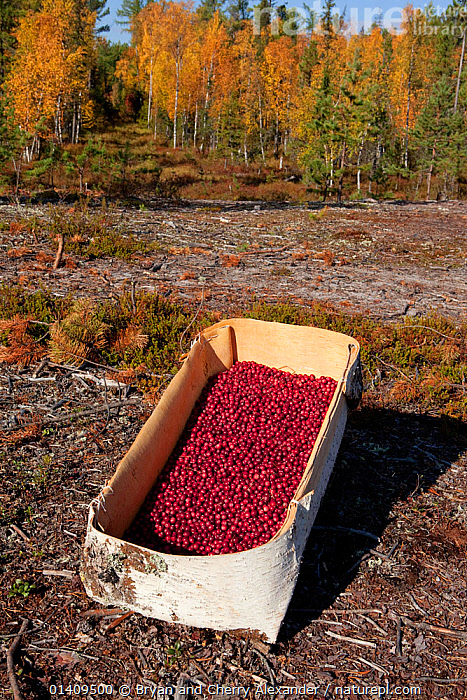 Handmade birch bark basket full of cranberries (Vaccinium oxycoccos) picked in autumn, Krasnoselkup, Yamal. Western Siberia. Russia, ARCTIC,ASIA,AUTUMN,BARK,BASKETS,BERRIES,BUSHCRAFT,CIS,COLLECTION,CONTAINER,CULTURES,FOOD,FORESTS,FRUIT,HANDICRAFTS,HARVEST,HARVESTING,INDIGENOUS,MASS,NATIVE,PEOPLE,RUSSIA,SELKUP,SIBERIA,TRADITIONAL,TREES,TRIBAL,TRIBES,VERTICAL,WESTERN SIBERIA,Plants, Bryan and Cherry Alexander