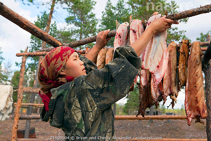 Rita Markova, a young Selkup woman, hangs fish up to smoke and dry over an open fire at a summer camp in the forest, Krasnoselkup, Yamal, Western Siberia, Russia, ARCTIC,ASIA,CAMPING,CAMPS,CIS,CULTURES,CURING,DRYING,FISH,FOOD,INDIGENOUS,NATIVE,PEOPLE,RAW,RUSSIA,SELKUP,SIBERIA,SMOKING,TRADITIONAL,TRIBAL,TRIBES,WESTERN SIBERIA,WOMAN,WORKING, Bryan and Cherry Alexander