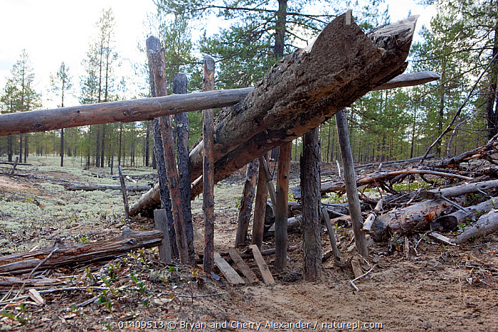 A traditional Selkup 'chang' (deadfall trap) set to catch Capercaille in a forest clearing, Krasnoselkup, Yamal, Western Siberia, Russia, ARCTIC,ASIA,BIRDS,BOREAL,CAPERCAILLE,CIS,FORESTS,HUNTING,MANMADE,RUSSIA,SELKUP,SIBERIA,TAIGA,TRADITIONAL,TRAPPING,TRAPS,WESTERN SIBERIA,WOOD,WOODEN,WOODLANDS, Bryan and Cherry Alexander