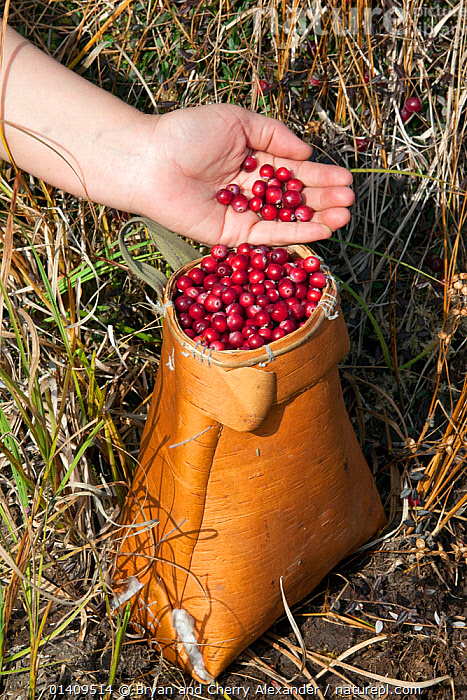 Collecting cranberries (Vaccinium oxycoccos) in a traditional Selkup birch bark basket in the autumn, Krasnolselkup, Yamal, Western Siberia, Russia., ARCTIC,ASIA,AUTUMN,BARK,BERRIES,CIS,COLLECTING,CRANBERRIES,CULTURES,FOOD,FRUIT,HANDICRAFTS,HARVESTING,INDIGENOUS,MASS,NATIVE,PLANTS,RUSSIA,SELKUP,SIBERIA,TRADITIONAL,TRIBAL,TRIBES,VERTICAL,WESTERN SIBERIA, Bryan and Cherry Alexander