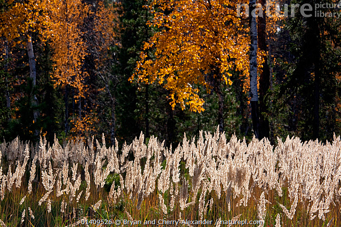 Bunch grass (Calamagrostis arundinacea) and Silver birch trees backlit by the autumn sun in boreal forest, Krasnoselkup, Yamal, Western Siberia, Russia, ARCTIC,ASIA,AUTUMN,BIRCH,BOREAL,CIS,FORESTS,GRASS,GRASSES,HABITAT,LANDSCAPES,PLANTS,RUSSIA,SIBERIA,TAIGA,TREES,WESTERN SIBERIA, Bryan and Cherry Alexander