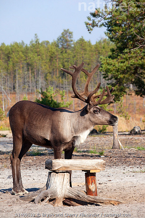 A draught reindeer eating salt from a trough at a Selkup camp in the autumn in boreal forest,  Krasnoselkup, Yamal, Western Siberia, Russia, ARCTIC,ASIA,CIS,CULTURES,DOMESTIC,DOMESTICATED,FEEDING,INDIGENOUS,LIVESTOCK,MINERALS,NATIVE,PROFILE,REINDEER,RUSSIA,SALT,SELKUP,SIBERIA,TRADITIONAL,TRANSPORT,TRIBAL,TRIBES,VERTICAL,WESTERN SIBERIA,WORKING, Bryan and Cherry Alexander