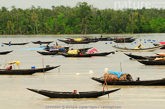 A large number of traditional open boats on a river, the Sundarbans National Park, the largest mangrove swamp in the world. Bangladesh. UNESCO World Heritage Site. June 2012., ASIA,BANGLADESH,BOATS,FISHING BOATS,FLEETS,GROUPS,LANDSCAPES,NP,OPEN BOATS,PEOPLE,RESERVE,RIVERS,TRADITIONAL,WOODEN,WORKING BOATS,INDIAN-SUBCONTINENT,National Park, Enrique Lopez-Tapia