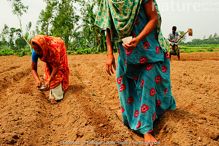 Women planting seeds outside Paharpur with a man tilling the fields in the background, Bangladesh, June 2012., AGRICULTURE,ASIA,BANGLADESH,BARE,CROPS,FARMING,FARMLAND,MAN,PEOPLE,SEEDS,SOIL,TRADITIONAL,WOMEN, Enrique Lopez-Tapia
