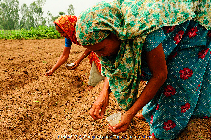Women carefully planting seeds in a field outside Paharpur. Bangladesh. June 2012., AGRICULTURE,ASIA,BANGLADESH,BARE,CROPS,FARMING,FARMLAND,FIELD,PEOPLE,SOIL,WOMEN, Enrique Lopez-Tapia