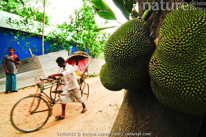 Close up of Kathal or jackfruit with a man wheeling bicycle taxi in the background, Bangladesh. June 2012., ASIA,BANGLADESH,BICYCLES,CITIES,FRUIT,MAN,PEOPLE,URBAN,Plants, Enrique Lopez-Tapia