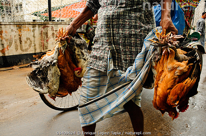 Close-up of live chickens being in carried through the streets of Dhaka, Bangladesh, June 2012., ASIA,BANGLADESH,CARRYING,CHICKENS,CITIES,FOOD,PEOPLE,POULTRY,URBAN, Enrique Lopez-Tapia