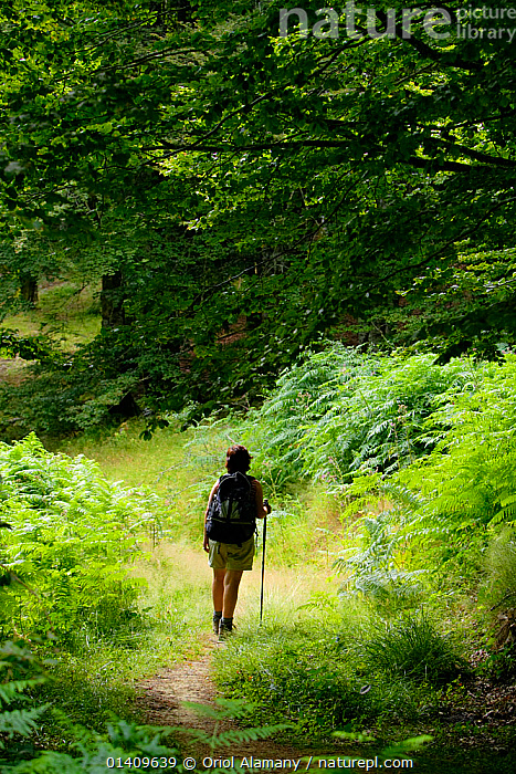 Woman hiking in Irati forest, Aezkoa valley, Pyrenees, Navarra, Spain. Model released., EUROPE,FORESTS,HIKING,SPAIN,TREES,TREKKING,VERTICAL,WALKING,WOODLANDS,PLANTS, Oriol Alamany