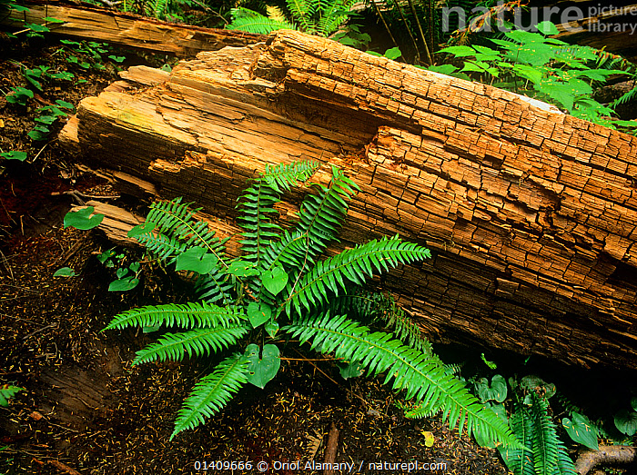 Fern and rotten trunk in Carmanah old growth forest, Carmanah-Walbran Provincial Park, Vancouver Island, British Columbia, Canada, ANCIENT,CANADA,FALLEN,FERNS,FORESTS,NORTH AMERICA,TEMPERATE RAINFOREST,TREES,Plants, Oriol Alamany