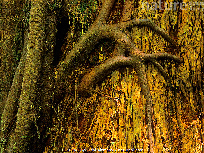 Tree roots penetrating the trunk of another older tree in  old-growth forest of Carmanah Walbran Provincial Park, Vancouver Island, British Columbia, Canada, ANCIENT,CANADA,NORTH AMERICA,OLD,ROOTS,TEMPERATE RAINFOREST,TREES,TRUNKS,PLANTS, Oriol Alamany