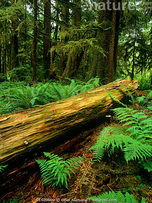 Old fallen tree trunk in  old-growth forest of Carmanah-Walbran Provincial Park, Vancouver Island, British Columbia, Canada, ANCIENT,CANADA,FERN,FORESTS,NORTH AMERICA,OLD,RESERVE,TEMPERATE RAINFOREST,TREES,TRUNKS,VERTICAL,PLANTS, Oriol Alamany