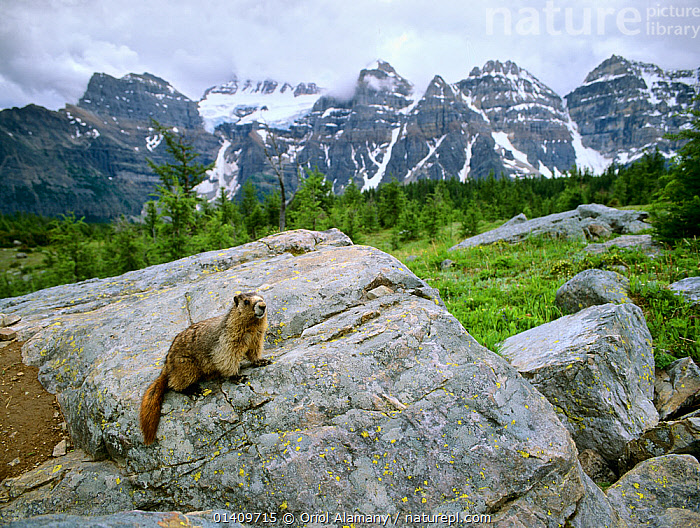 Hoary Marmot (Marmota caligata) on a rock in Banff National Park, Rocky Mountains, Canada, CANADA,HABITAT,LANDSCAPES,MAMMALS,MARMOTS,MOUNTAINS,NORTH AMERICA,NP,PORTRAITS,RESERVE,RODENTS,SCIURIDAE,VERTEBRATES,National Park,,Canadian Rocky Mountain Parks World Heritage Site, UNESCO World Heritage Site,Rocky Mountains,Rockies,NP,Reserve,, Oriol Alamany
