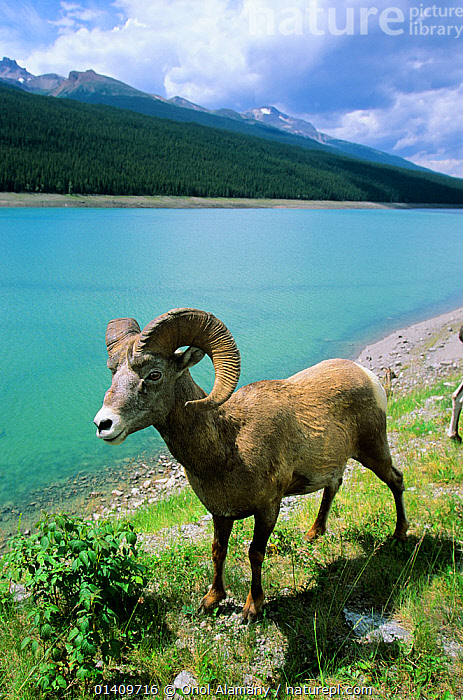 Bighorn Sheep (Ovis canadensis) male in Jasper National Park, Rocky Mountains, Alberta, Canada, ALBERTA,ARTIODACTYLA,BOVIDAE,CANADA,LAKES,MALES,MAMMALS,NORTH AMERICA,NP,PORTRAITS,RESERVE,SHEEP,VERTEBRATES,VERTICAL,National Park,Goats,Antelopes,,Canadian Rocky Mountain Parks World Heritage Site, UNESCO World Heritage Site,Rocky Mountains,Rockies,NP,Reserve,, Oriol Alamany