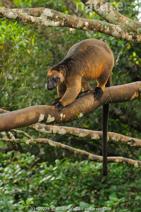 Lumholtz's Tree Kangaroo (Dendrolagus lumholtzi) male perched on tree branch. Queensland, Australia, November., AUSTRALIA,HABITAT,MACROPODIDAE,MALES,MAMMALS,MARSUPIALS,QUEENSLAND,TREE KANGAROOS,VERTEBRATES,VERTICAL, Dave Watts