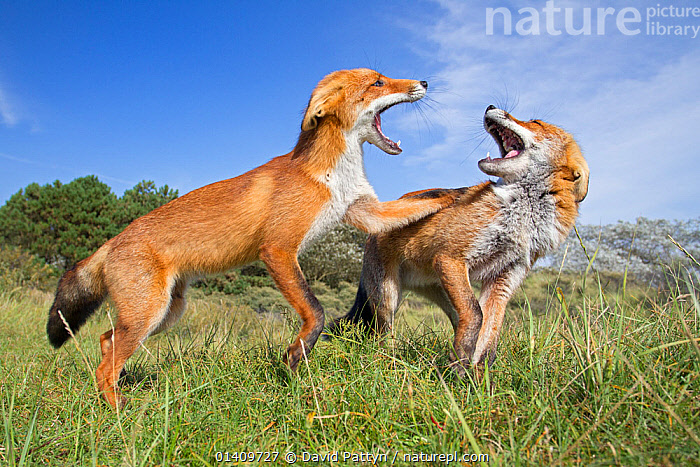 Two Red Foxes (Vulpes vulpes) fighting. The Netherlands