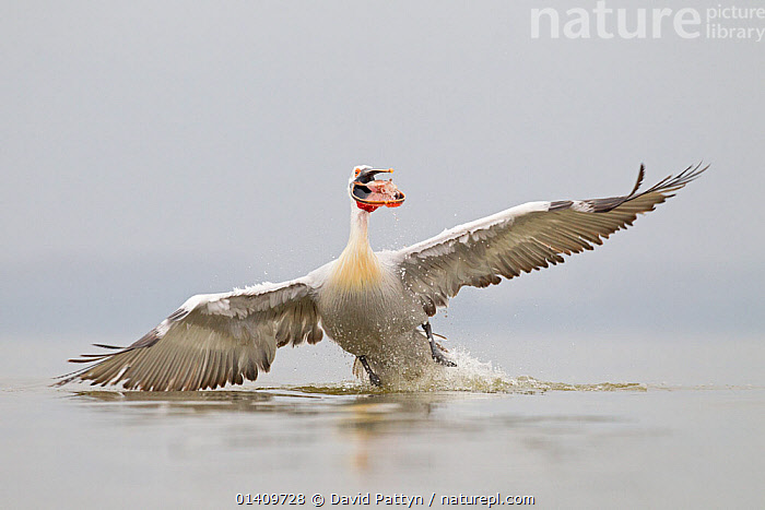 Dalmatian Pelican (Pelecanus crispus) with fish in beak, taking off to avoid theft from other pelicans.