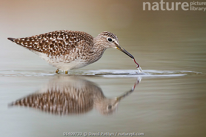 Wood Sandpiper (Tringa glareola) foraging for worms in water. Bulgaria, April., ACTION,BEHAVIOUR,BIRDS,BULGARIA,EUROPE,FEEDING,INVERTEBRATES,PREY,REFLECTIONS,SANDPIPERS,VERTEBRATES,WADERS,WORMS, David Pattyn