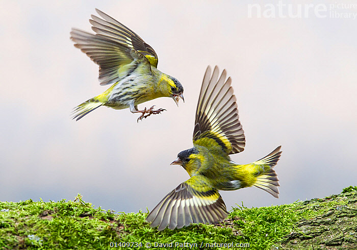 Siskins (Carduelis spinus) fighting over food. Oisterwijk, The Netherlands, March., ACTION,AGGRESSION,BEHAVIOUR,BIRDS,EUROPE,FIGHTING,FINCHES,FLYING,FRINGILLIDAE,HOLLAND,NETHERLANDS,TWO,VERTEBRATES,Catalogue5, David Pattyn